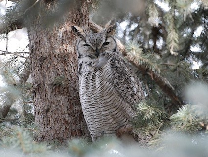 Great Horned Owl Identification All About Birds