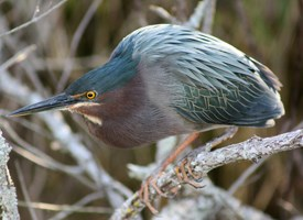 Green Heron Photo