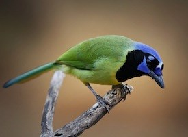 Green Jay Photo