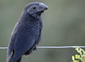 Groove-billed Ani Photo