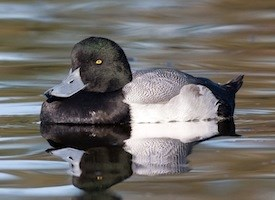 Greater Scaup Photo