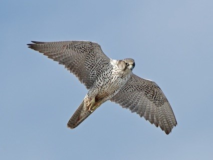 Gyrfalcon, Identification, All About Birds - Cornell Lab ...