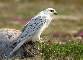 White Gyrfalcon Wings