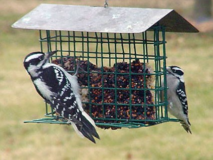 Adult with Downy Woodpecker