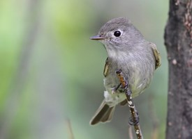 Hammonds Flycatcher Photo