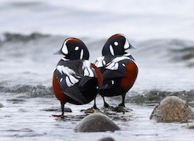 Harlequin Duck Photo