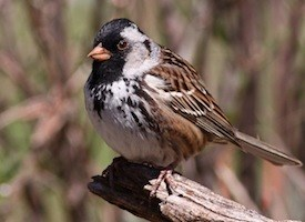 Harris's Sparrow Photo