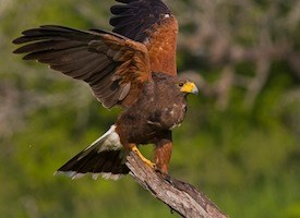 Harris's Hawk Photo