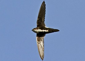 White-throated Swift Photo