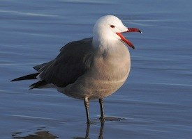 Heermann's Gull Photo