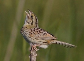 Henslows Sparrow Photo