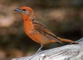 Hepatic Tanager Photo