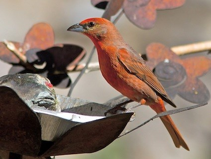 Hepatic Tanager Range Hepatic Tanager