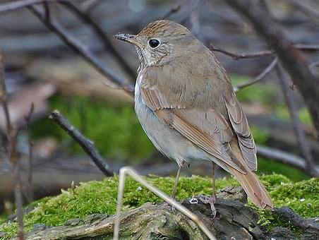 Hermit Thrush. Adult. Stocky thrush; Reddish tail contrasts with duller ...