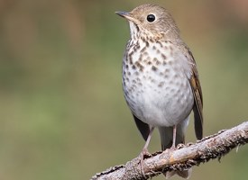 Hermit Thrush Photo