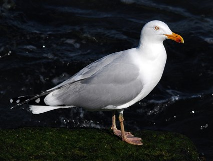 Breeding adult. Large gull with long yellow bill; Gray back, bright white ...