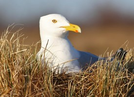 Herring Gull Photo