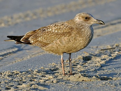 Juvenile Herring Gull (Larus argentatus) | Well-known as ...