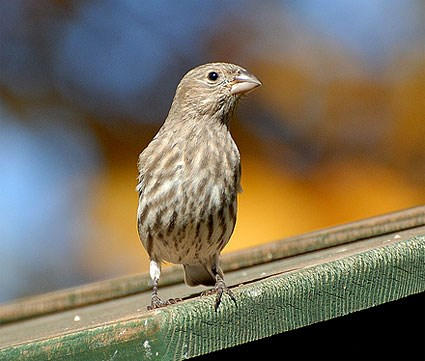 House Finches House_finch_2