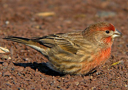 House Finches House_finch_3