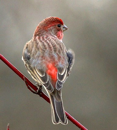 House Finches House_finch_51