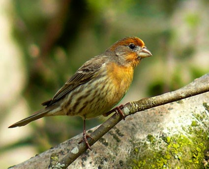 House Finches House_finch_8