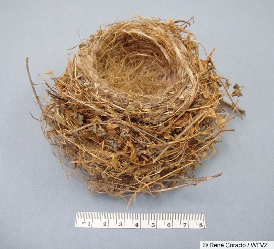 House Finch Nest Image 1