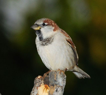 Adult male nonbreeding