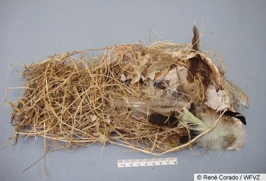 House Sparrow Nest Image 1