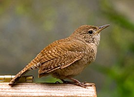 House Wren Photo