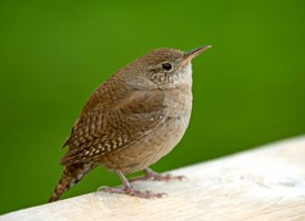 Perfect House Wren (Troglodytes Aedon): General Biology