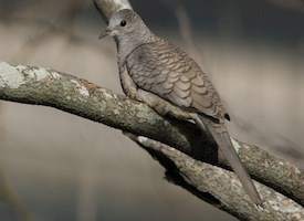 Inca Dove Photo