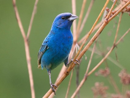 indigo_bunting_breeding_male4.jpg