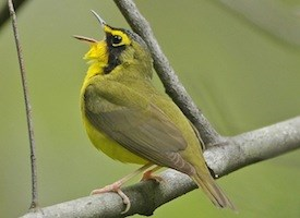 Kentucky Warbler Photo