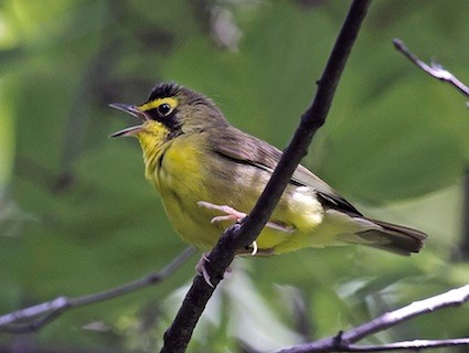 Kentucky warbler identification all about birds cornell lab of