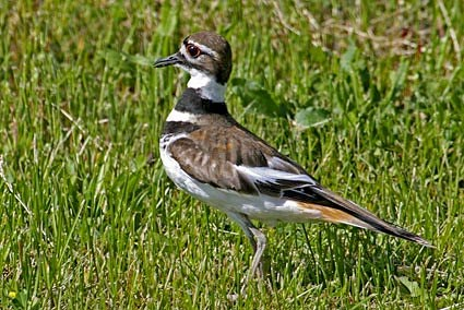 killdeer identification all about birds cornell lab of