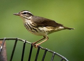 Louisiana Waterthrush Photo