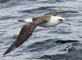 Laysan Albatross Photo
