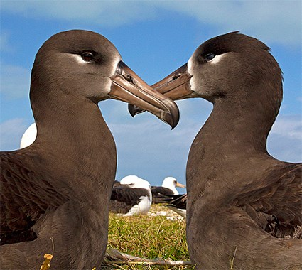 Adults with Laysan Albatrosses