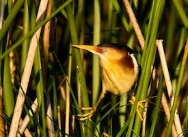 Least Bittern Photo