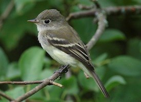 Least Flycatcher Photo