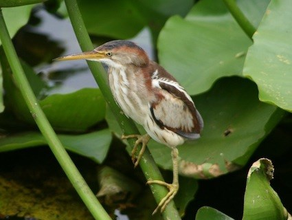 Least Bittern, Identification, All About Birds - Cornell Lab of ...