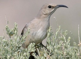 Le Conte's Thrasher Photo