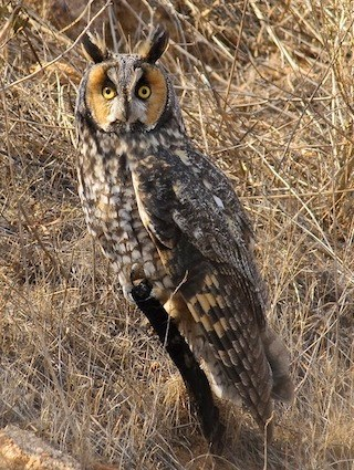 Long eared owl identification all about birds cornell lab of