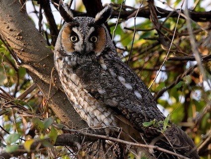 what is this owl great horned or long eared north york toronto