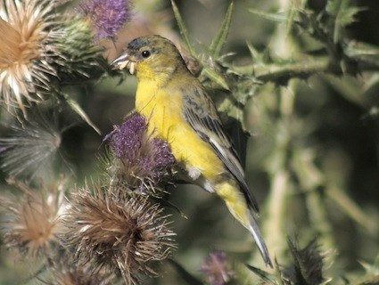 Lesser Goldfinch