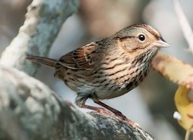 Lincoln's Sparrow Photo
