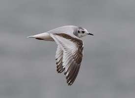 Little Gull Photo