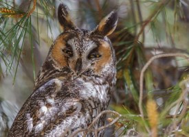 Long-eared Owl Photo