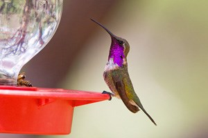 Lucifer Hummingbird Photo
